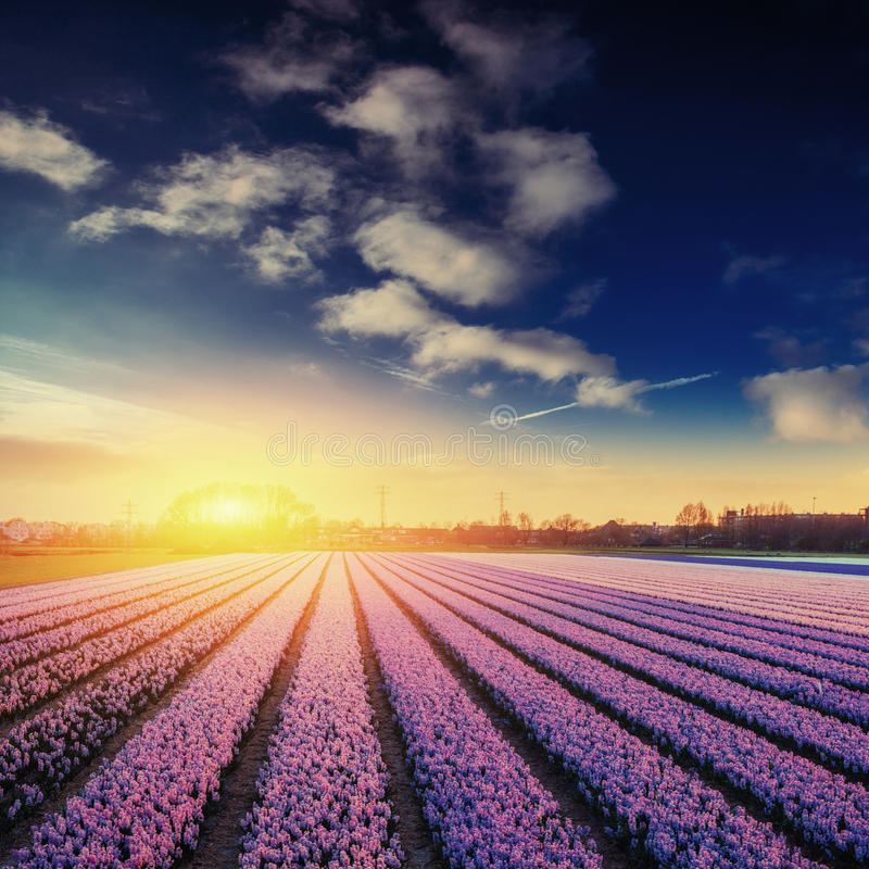 Fields hyacinths blooming flowers on the fantastic sunset. Beaut. Iful outdoor scenery in the Netherlands, Europe royalty free stock photo