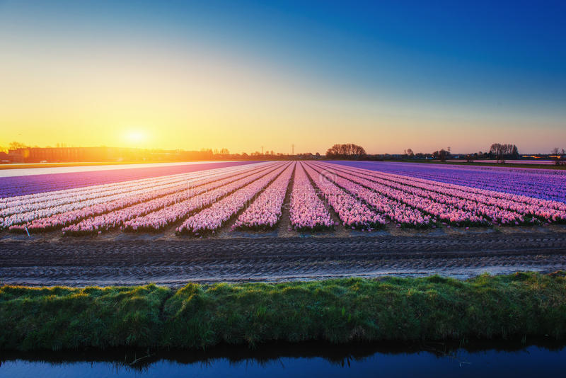 Fields hyacinths blooming flowers on the fantastic sunset. Beaut. Iful outdoor scenery in the Netherlands, Europe royalty free stock image