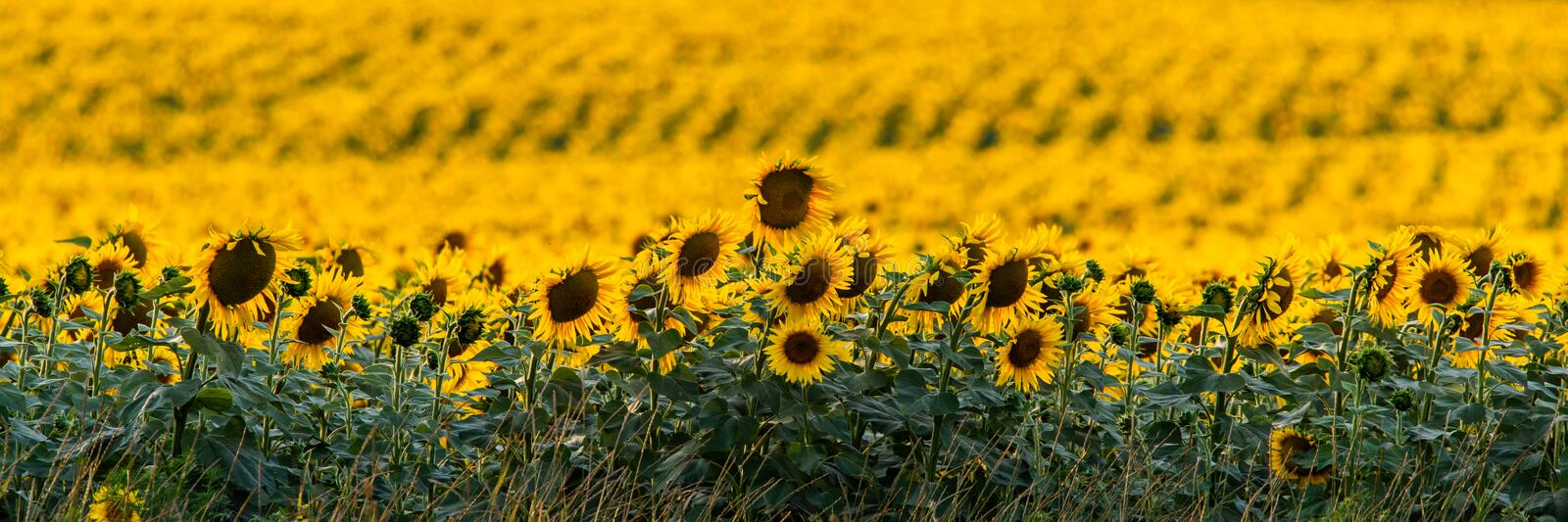 Fields with an infinite sunflower. Agricultural field stock photography