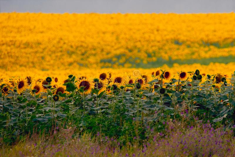 Fields with an infinite sunflower. Agricultural field. Low depth focus, landscape, harvest, agriculture, rural, background, green, nature, plant, summer stock photos