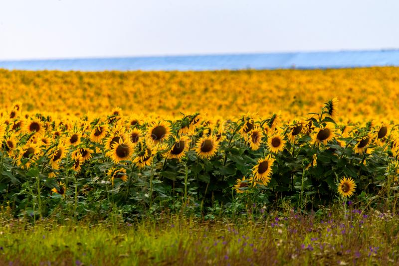 Fields with an infinite sunflower. Agricultural field. Low depth focus, landscape, harvest, agriculture, rural, background, green, nature, plant, summer stock image