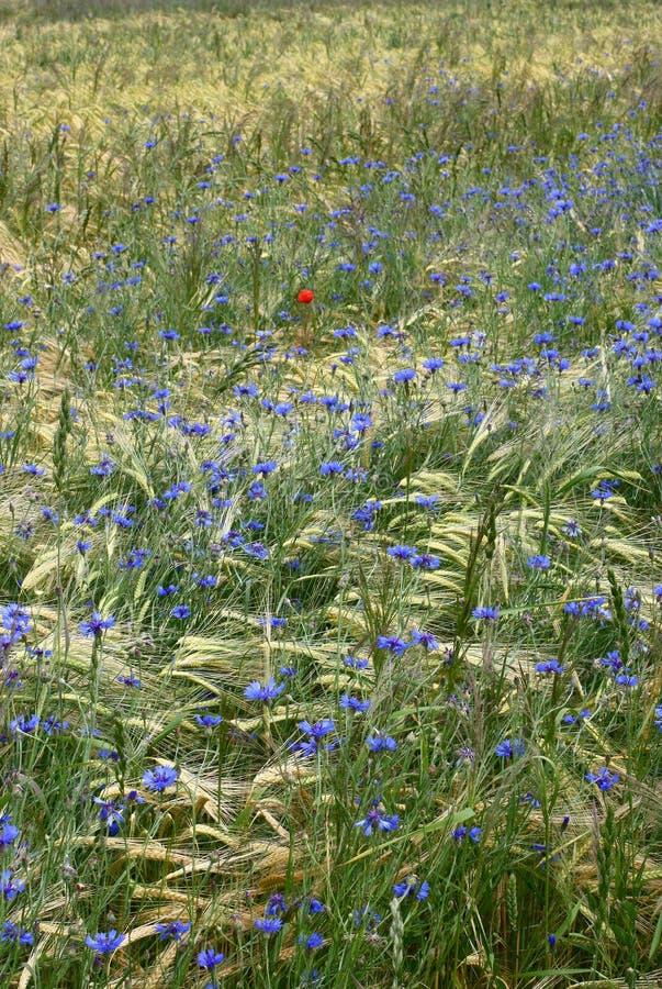 fields korn arkivbild