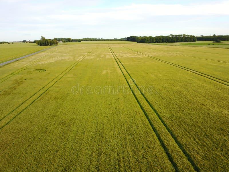 fields with lush grains fotografía de archivo libre de regalías