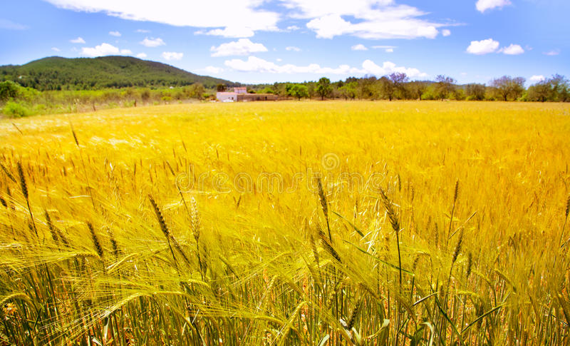 fields medelhavs- vete för den guld- ibizaön fotografering för bildbyråer