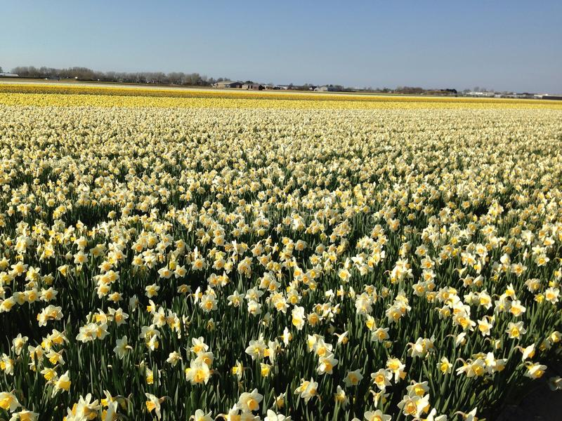 Fields of narcissus in the Netherlands stock photography
