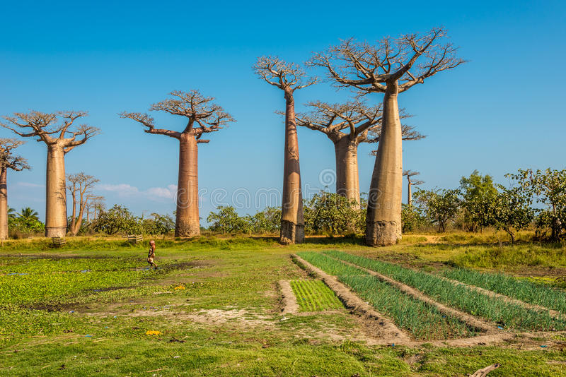 Fields near Baobabs avenue stock images