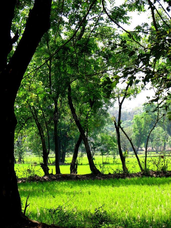 fields paddy arkivfoton