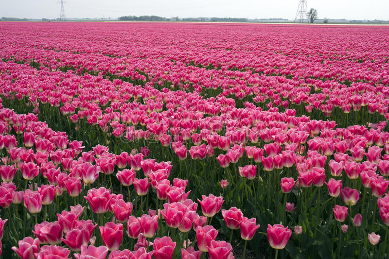 Fields with pink tulips. In the Noord Oost Polder in the Netherlands royalty free stock images