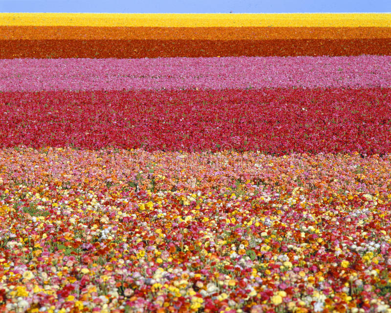 Fields of ranunculus flowers royalty free stock photos