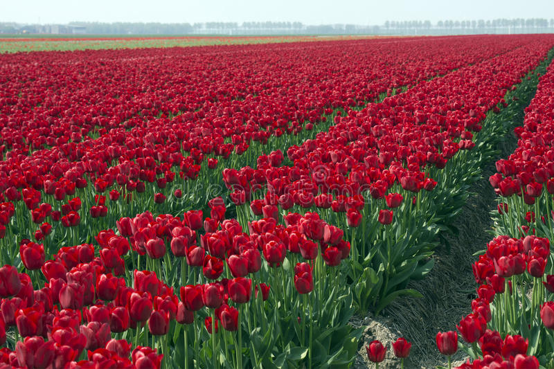 Fields with red tulips. In the Noord Oost Polder in the Netherlands stock photography
