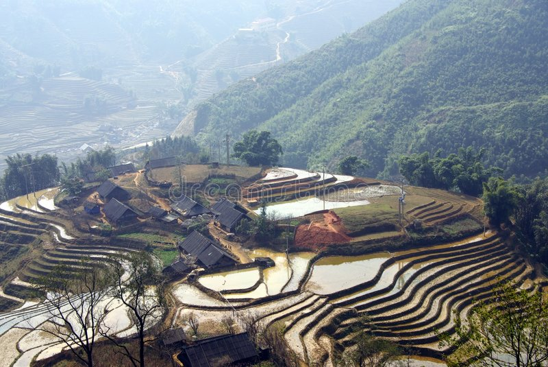 fields rice arkivfoton