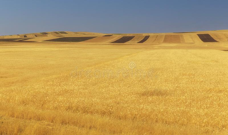 Fields of ripened wheat in the mountains stock photography