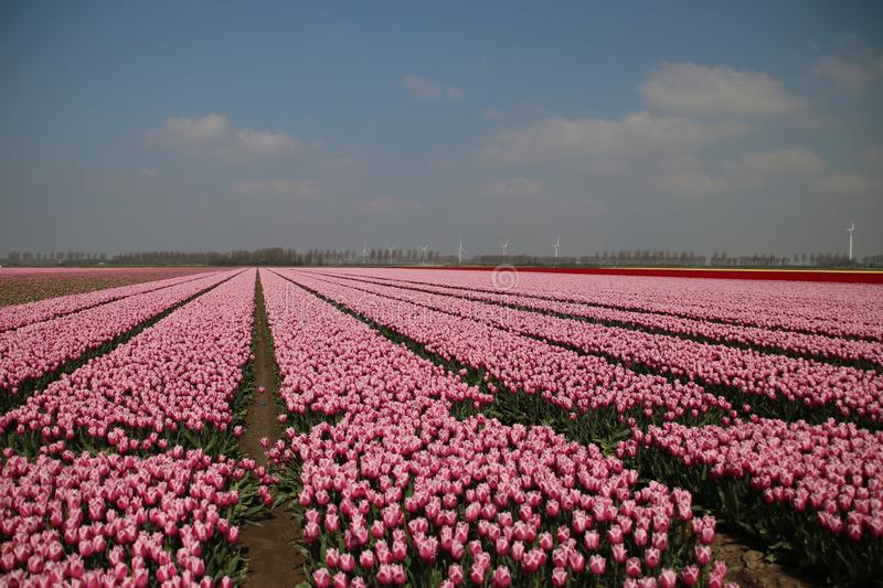 Fields with rows of pink tulips in springtime for agriculture of flowerbulb on island Goeree-Overflakkee in the Netherlands. Fields with rows of pink tulips in stock photography