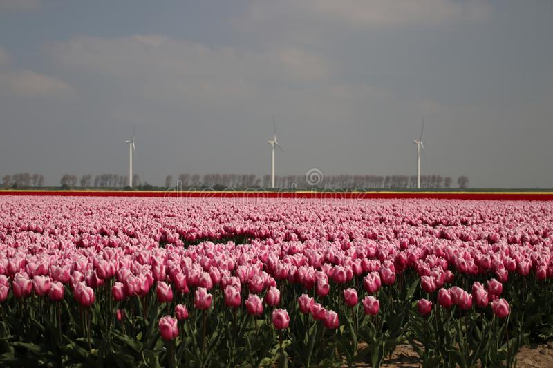 Fields with rows of pink tulips in springtime for agriculture of flowerbulb on island Goeree-Overflakkee in the Netherlands. Fields with rows of pink tulips in royalty free stock photo