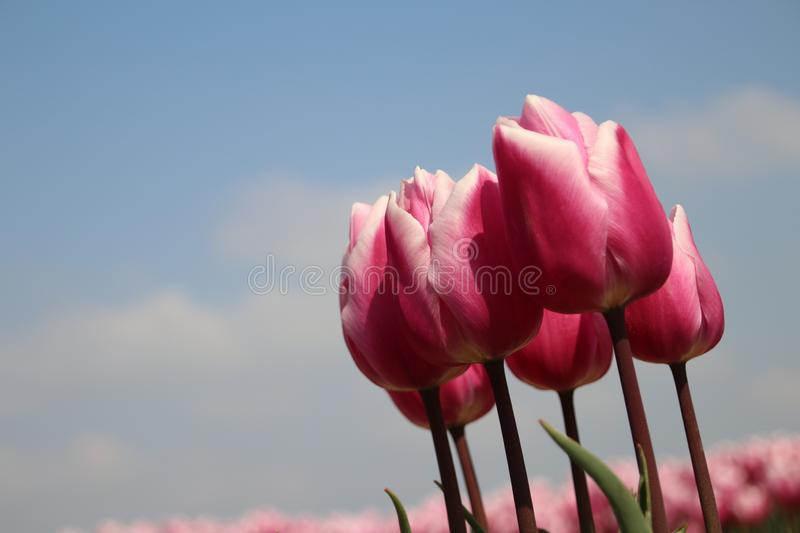 Fields with rows of pink tulips in springtime for agriculture of flowerbulb on island Goeree-Overflakkee in the Netherlands. Fields with rows of pink tulips in royalty free stock photography