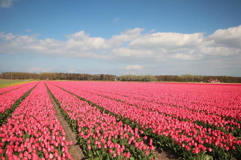 Fields with rows of pink tulips in springtime for agriculture of flowerbulb on island Goeree-Overflakkee in the Netherlands.  royalty free stock photography