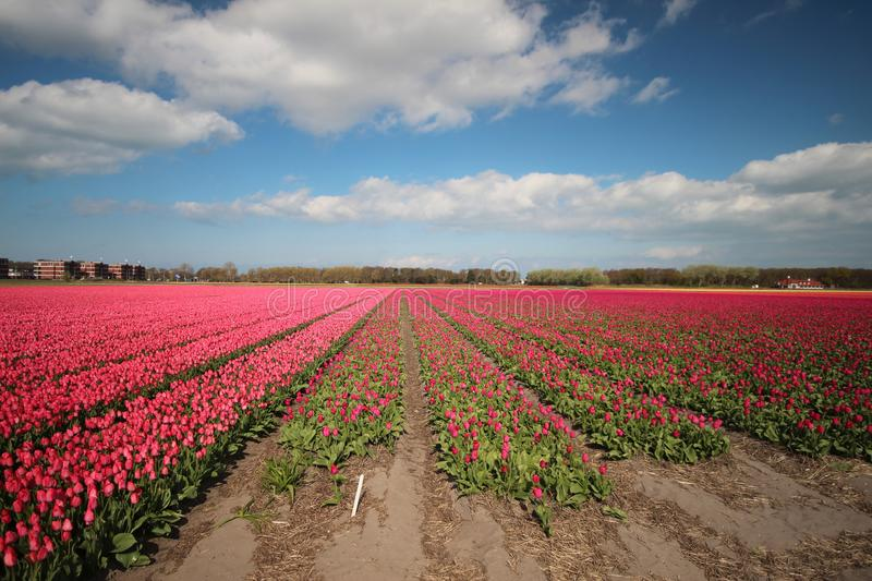 Fields with rows of pink tulips in springtime for agriculture of flowerbulb on island Goeree-Overflakkee in the Netherlands.  stock image