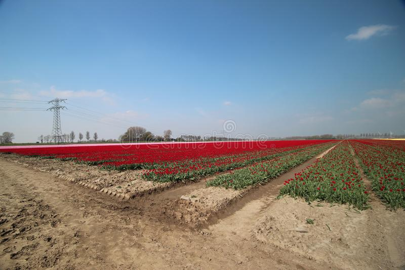 Fields with rows of pink tulips in springtime for agriculture of flowerbulb on island Goeree-Overflakkee in the Netherlands.  royalty free stock image