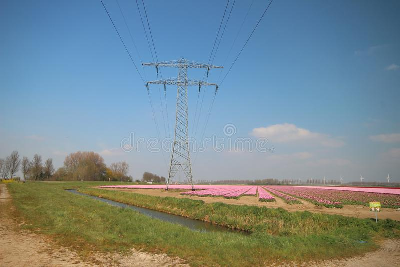 Fields with rows of pink tulips in springtime for agriculture of flowerbulb on island Goeree-Overflakkee in the Netherlands.  stock photo