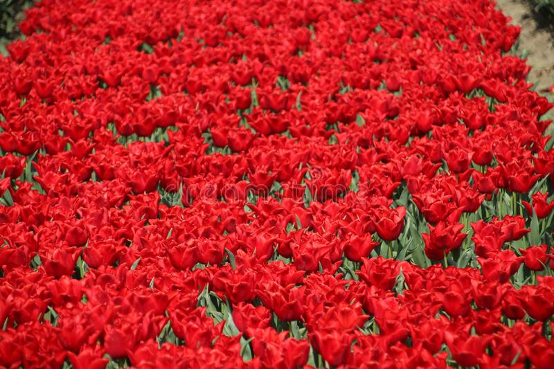 Fields with rows of red tulips in springtime for agriculture of flowerbulb on island Goeree-Overflakkee in the Netherlands.  stock image