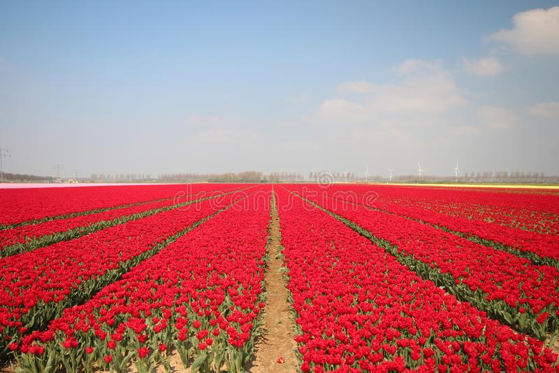 Fields with rows of red tulips in springtime for agriculture of flowerbulb on island Goeree-Overflakkee in the Netherlands. Fields with rows of tulips in stock image
