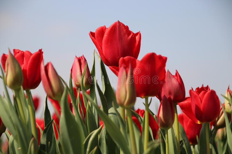 Fields with rows of red tulips in springtime for agriculture of flowerbulb on island Goeree-Overflakkee in the Netherlands.  royalty free stock image