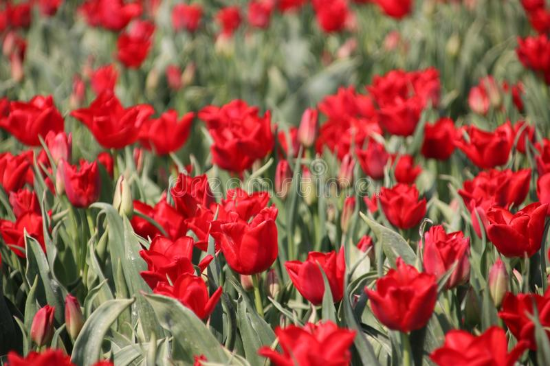Fields with rows of red tulips in springtime for agriculture of flowerbulb on island Goeree-Overflakkee in the Netherlands.  royalty free stock images