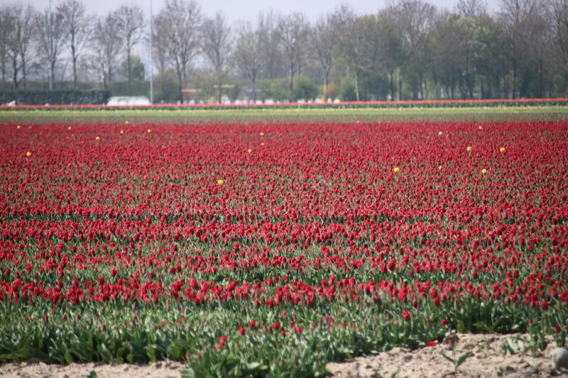 Fields with rows of red tulips in springtime for agriculture of flowerbulb on island Goeree-Overflakkee in the Netherlands.  stock images