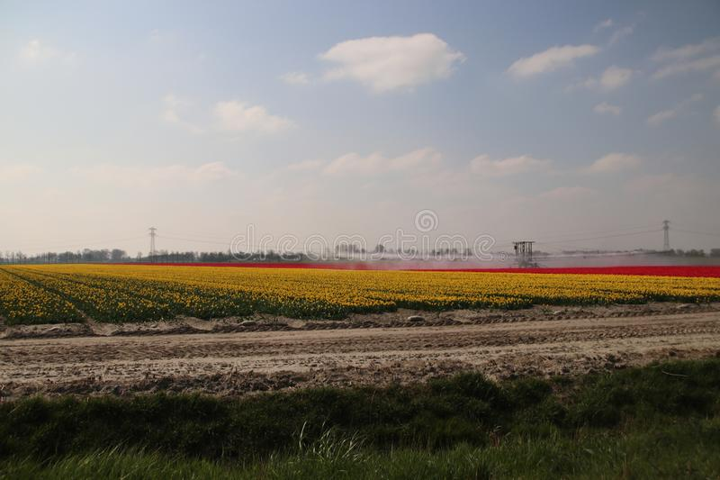 Fields with rows of red tulips in springtime for agriculture of flowerbulb on island Goeree-Overflakkee in the Netherlands, watere. D due to dryness stock photography