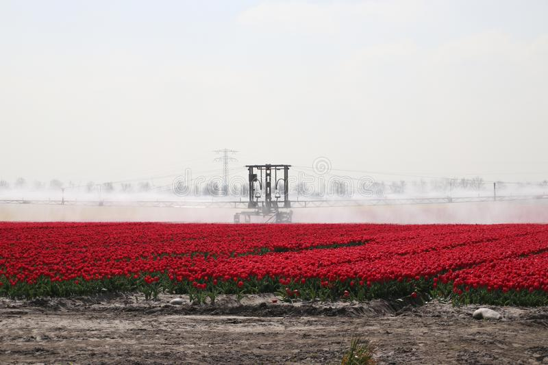 Fields with rows of red tulips in springtime for agriculture of flowerbulb on island Goeree-Overflakkee in the Netherlands, watere. D due to dryness stock photo