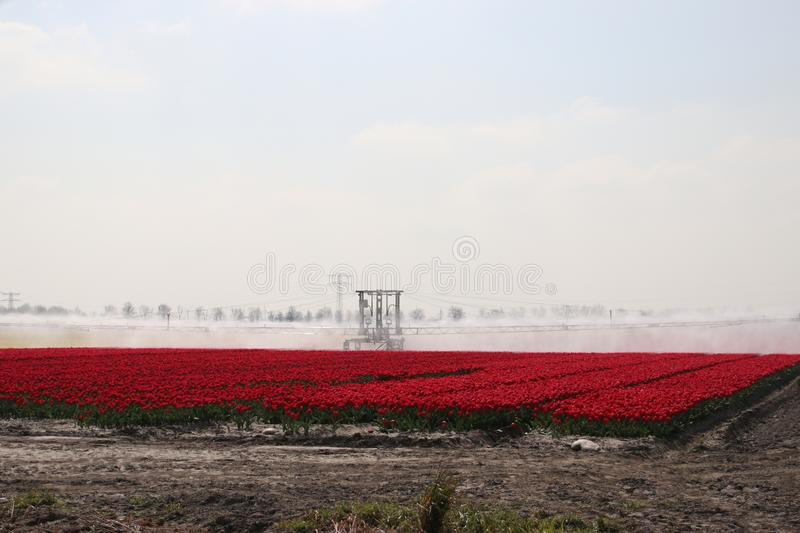 Fields with rows of red tulips in springtime for agriculture of flowerbulb on island Goeree-Overflakkee in the Netherlands, watere. D due to dryness royalty free stock photos