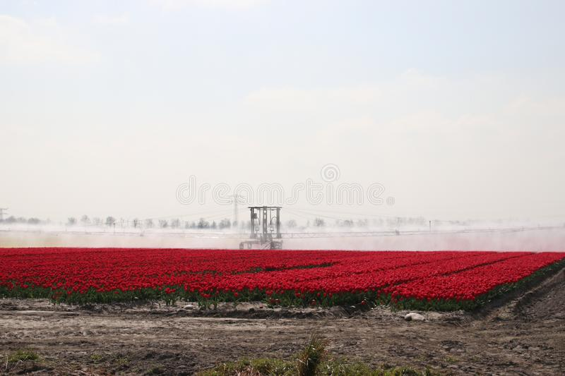 Fields with rows of red tulips in springtime for agriculture of flowerbulb on island Goeree-Overflakkee in the Netherlands, watere. D due to dryness royalty free stock photography