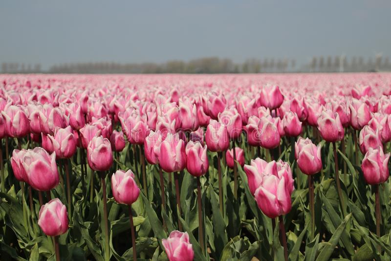 Fields with rows of red and white tulips in springtime for agriculture of flowerbulb on island Goeree-Overflakkee in the Netherlan. Ds stock photography