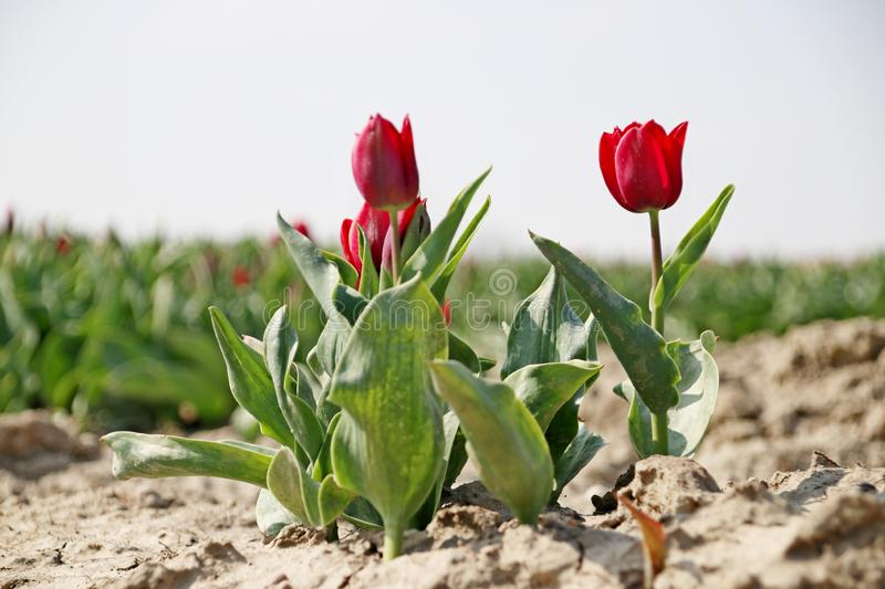 Fields with rows of red tulips in springtime for agriculture of flowerbulb on island Goeree-Overflakkee in the Netherlands. Fields with rows of tulips in royalty free stock image