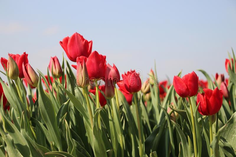 Fields with rows of red tulips in springtime for agriculture of flowerbulb on island Goeree-Overflakkee in the Netherlands. Fields with rows of tulips in stock photography