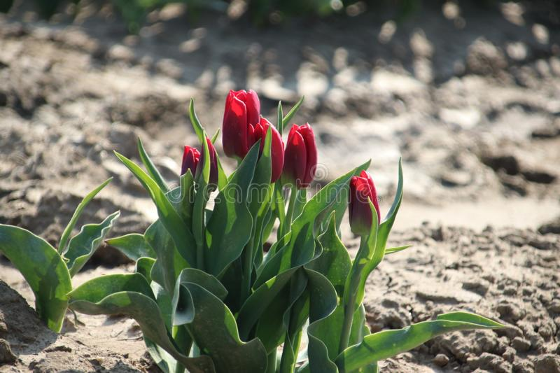 Fields with rows of red tulips in springtime for agriculture of flowerbulb on island Goeree-Overflakkee in the Netherlands. Fields with rows of tulips in royalty free stock images