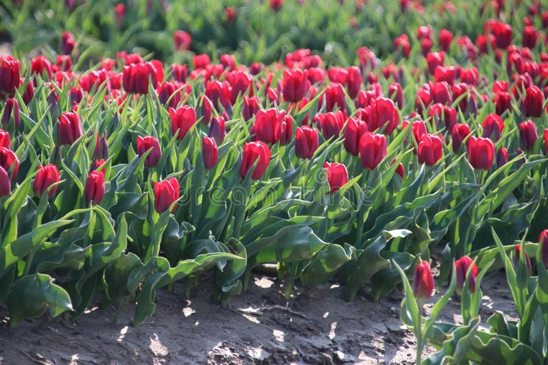 Fields with rows of red tulips in springtime for agriculture of flowerbulb on island Goeree-Overflakkee in the Netherlands. Fields with rows of tulips in stock photos