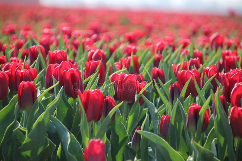 Fields with rows of red tulips in springtime for agriculture of flowerbulb on island Goeree-Overflakkee in the Netherlands. Fields with rows of tulips in royalty free stock photography