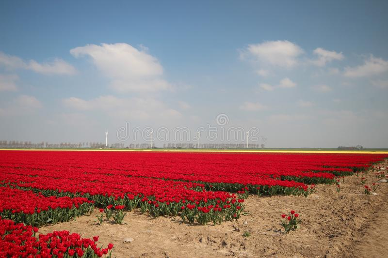 Fields with rows of red tulips in springtime for agriculture of flowerbulb on island Goeree-Overflakkee in the Netherlands. Fields with rows of tulips in stock photo