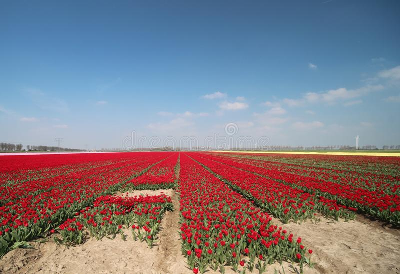 Fields with rows of red tulips in springtime for agriculture of flowerbulb on island Goeree-Overflakkee in the Netherlands. Fields with rows of tulips in stock images