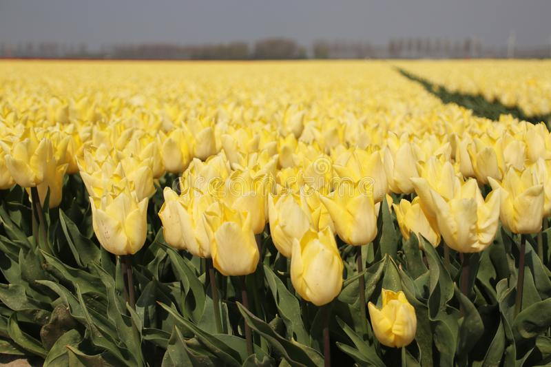 Fields with rows of yellow tulips in springtime for agriculture of flowerbulb on island Goeree-Overflakkee in the Netherlands. Fields with rows of yellow tulips royalty free stock photos