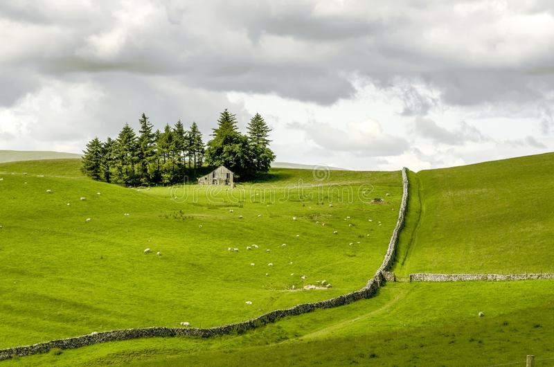 Fields of sheep on moorland. Sunlit Fields of sheep on moorland under a cloudy sky with dry stone walls and an isolated farm house surrounded by trees stock photo