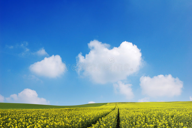 Fields and Sky. Golden fields and a bright blue sky royalty free stock photography