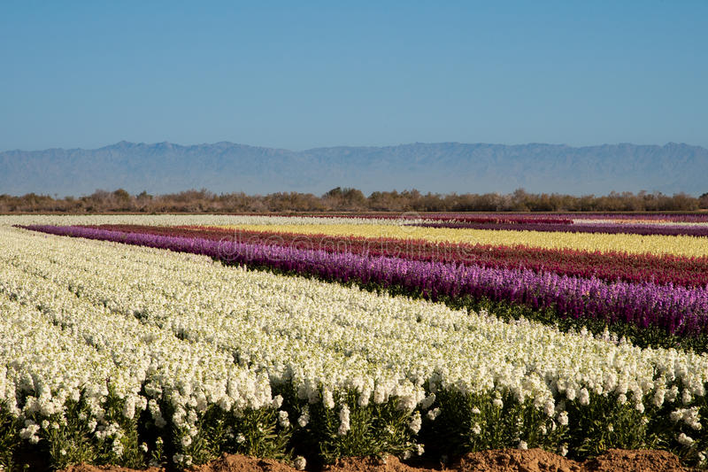 Fields Of Stock Flowers Royalty Free Stock Images