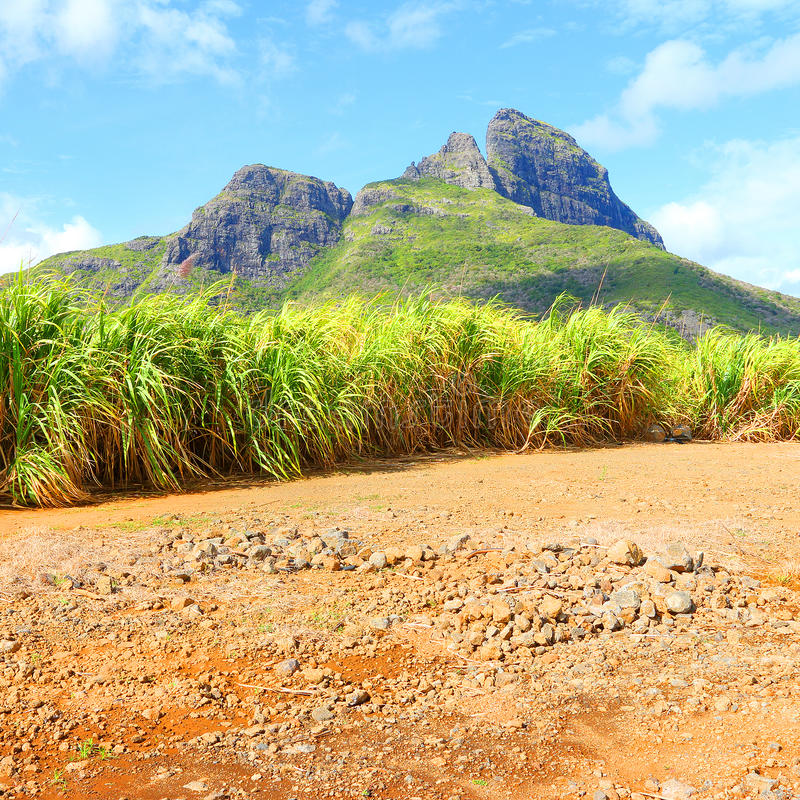 Fields of sugar cane on Mauritius Island. royalty free stock images