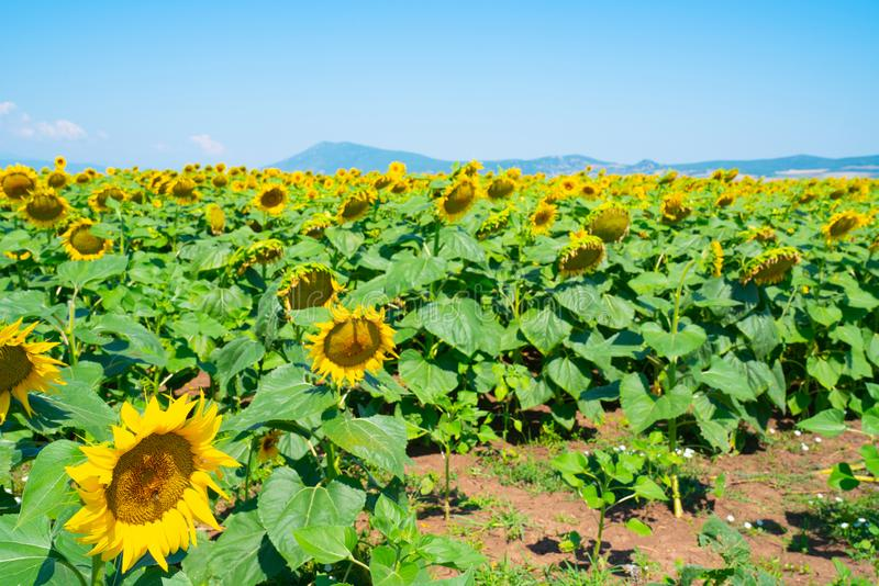 Fields of sunflowers on Greece`s fertile cropping plains royalty free stock photos