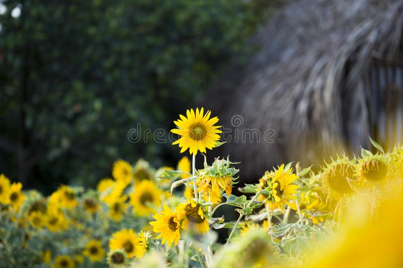Fields of sunflowers are now a common stock photos