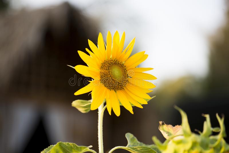 Fields of sunflowers are now a common royalty free stock images