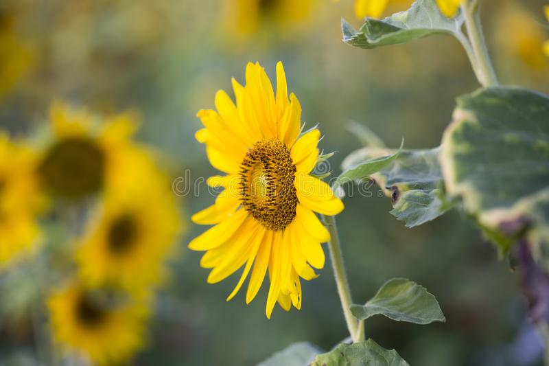 Fields of sunflowers are now a common royalty free stock photo