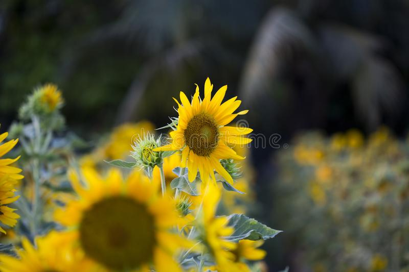 Fields of sunflowers are now a common stock image